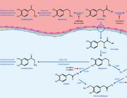 Farmacodynamiek en farmacokinetiek van levodopa