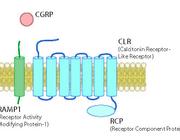 CGRP als aangrijppunt voor de behandeling van migraine
